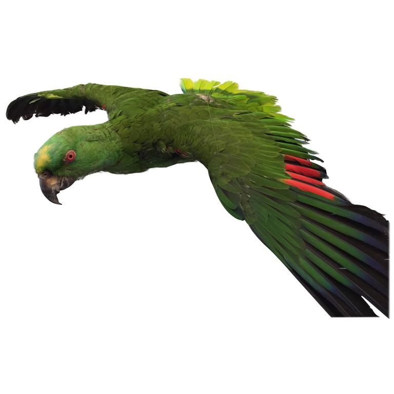 Flying Amazon Taxidermy Parrot For Sale