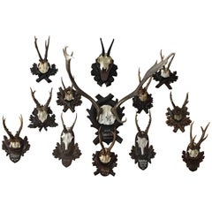 Collection of Black Forrest Mounts Including One Stag, Ten Roe and One Chinois