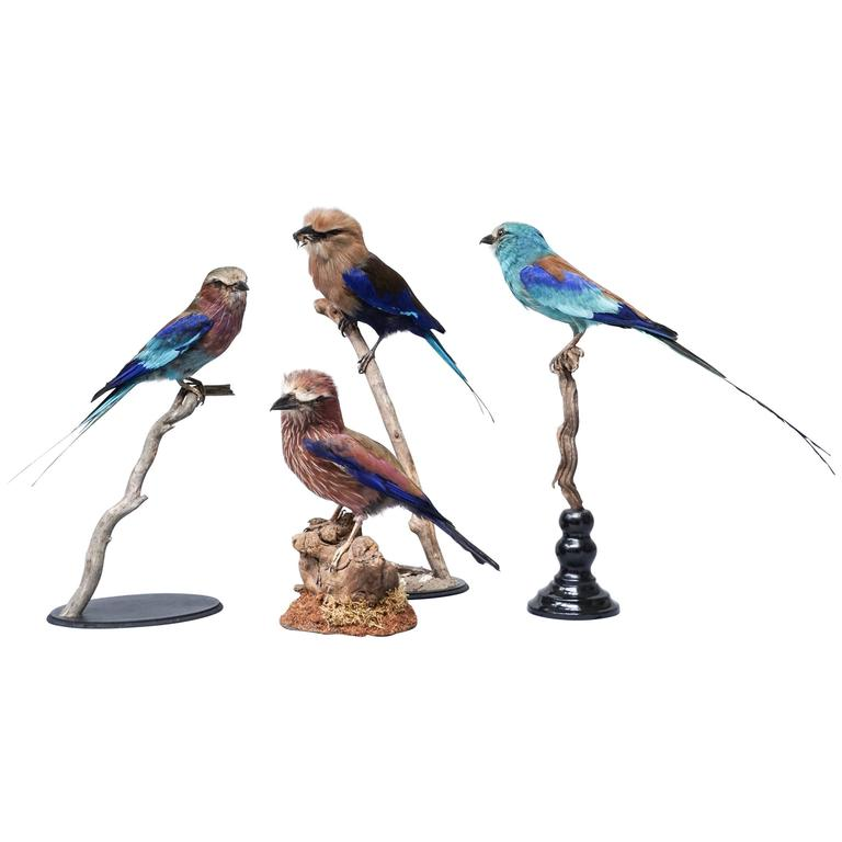 Taxidermy Collection of Rollers Birds