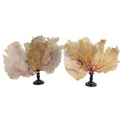 Pair of Fan Shaped Coral on Wooden Stands
