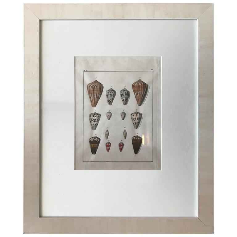19th Century Engravings of Shells