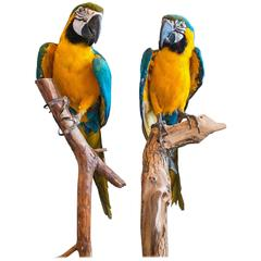 Taxidermy Blue and Gold Macaw Mounted on a Branch