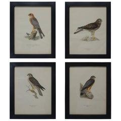 Swedish Birds of Prey Prints, circa 1929