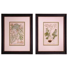 Pair of 18th Century Botanical Prints by Johann Wilhelm Weinmann