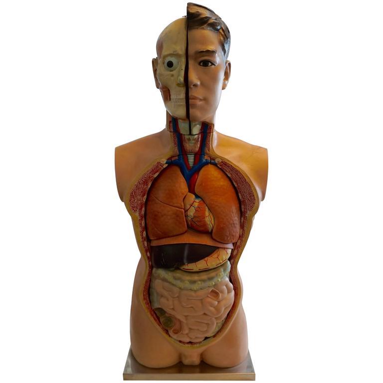 Male Anatomical Torso 1