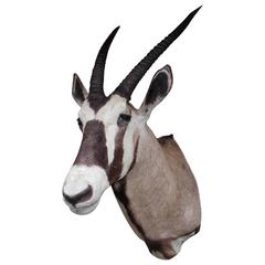 "African Gemsbok ""Oryx Gazella"" Antelope Shoulder Mount, 20th Century"