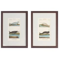 Traditional Pair of Hand Colored Sea Life Engravings