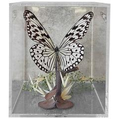 Vintage Butterfly Taxidermy