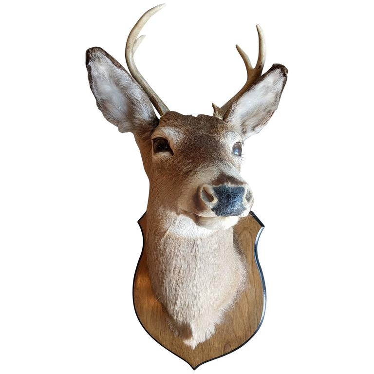 beautiful four point deer head mount taxidermy for sale at 1stdibs. Black Bedroom Furniture Sets. Home Design Ideas