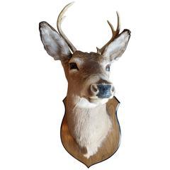 Beautiful Four Point Deer Head Mount Taxidermy
