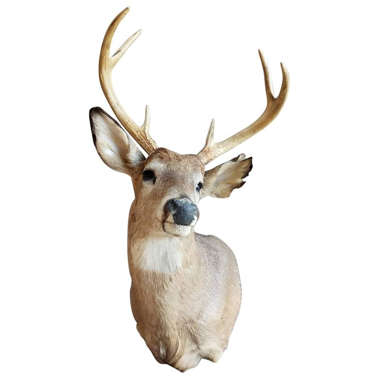 beautiful six point deer head mount taxidermy for sale at 1stdibs. Black Bedroom Furniture Sets. Home Design Ideas