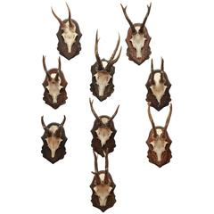 Antler Trophies with Foliate Carved Backs