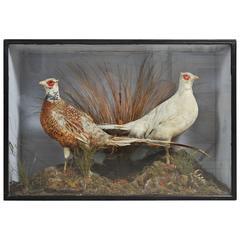 Victorian Pair of Taxidermy Chinese Albino Pheasants