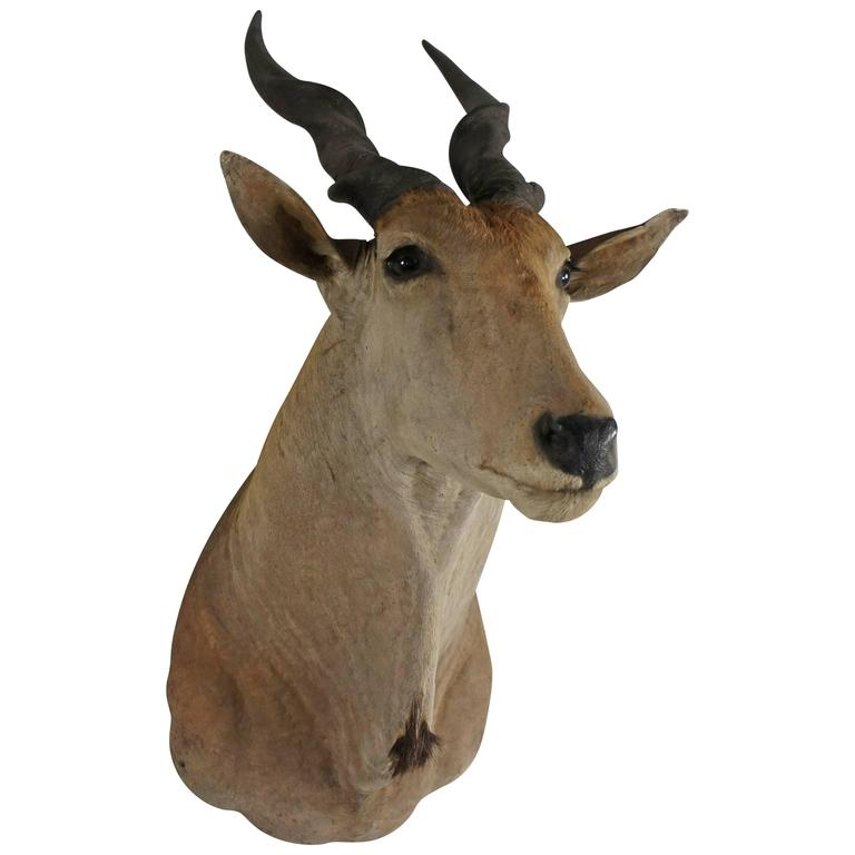20th Century Large African Giant Eland Taxidermy Shoulder Mount Antlers For Sale