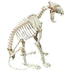 Skeleton of a Lioness