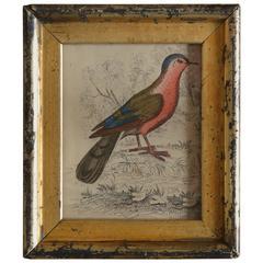 Original Antique Print of a Red Bird, circa 1850