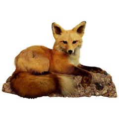 Spectacular Vintage Red Fox Taxidermy on Natural Cork Bark Base