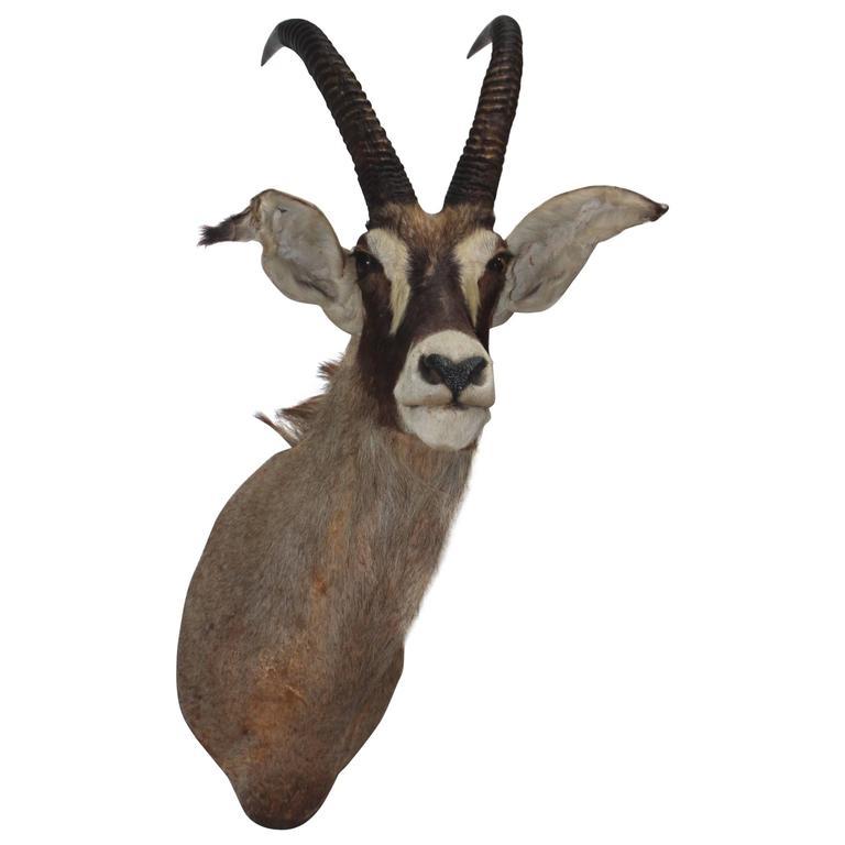 Large Gazelle Mounted Taxidermy