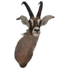 Large Gazelle Mounted Taxidermy