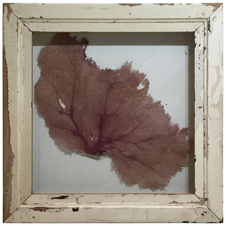Large Natural Sea Shell Fan in Shadow Box