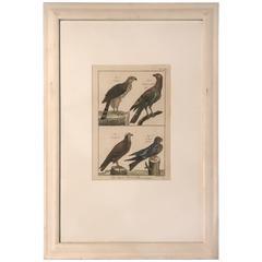 19th Century Histoire Naturelle Hawks Print
