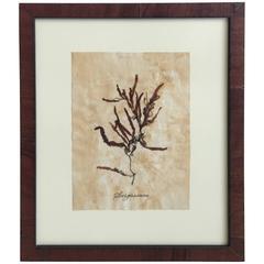 Blackwell Botanicals Pressed Seaweed Specimen