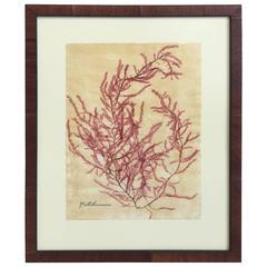Blackwell Botanicals Framed Seaweed Specimen