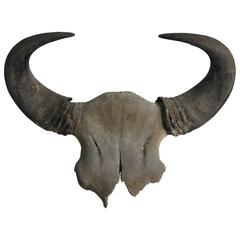 Large Buffalo Skull Taxidermy Horns