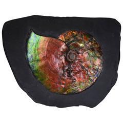 Opalescent Gem Ammonite Fossil