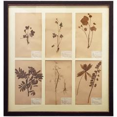 Swedish Herbal Pressed Botanical Framed under Glass, circa 1940
