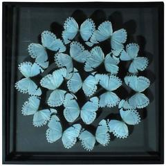 Delicate Composition of Framed Morpho Catenarius Butterflies by Olivier Violo