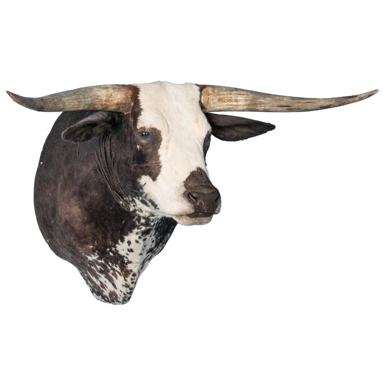 Large Long Horn Shoulder Mount Taxidermy Bull At 1stdibs