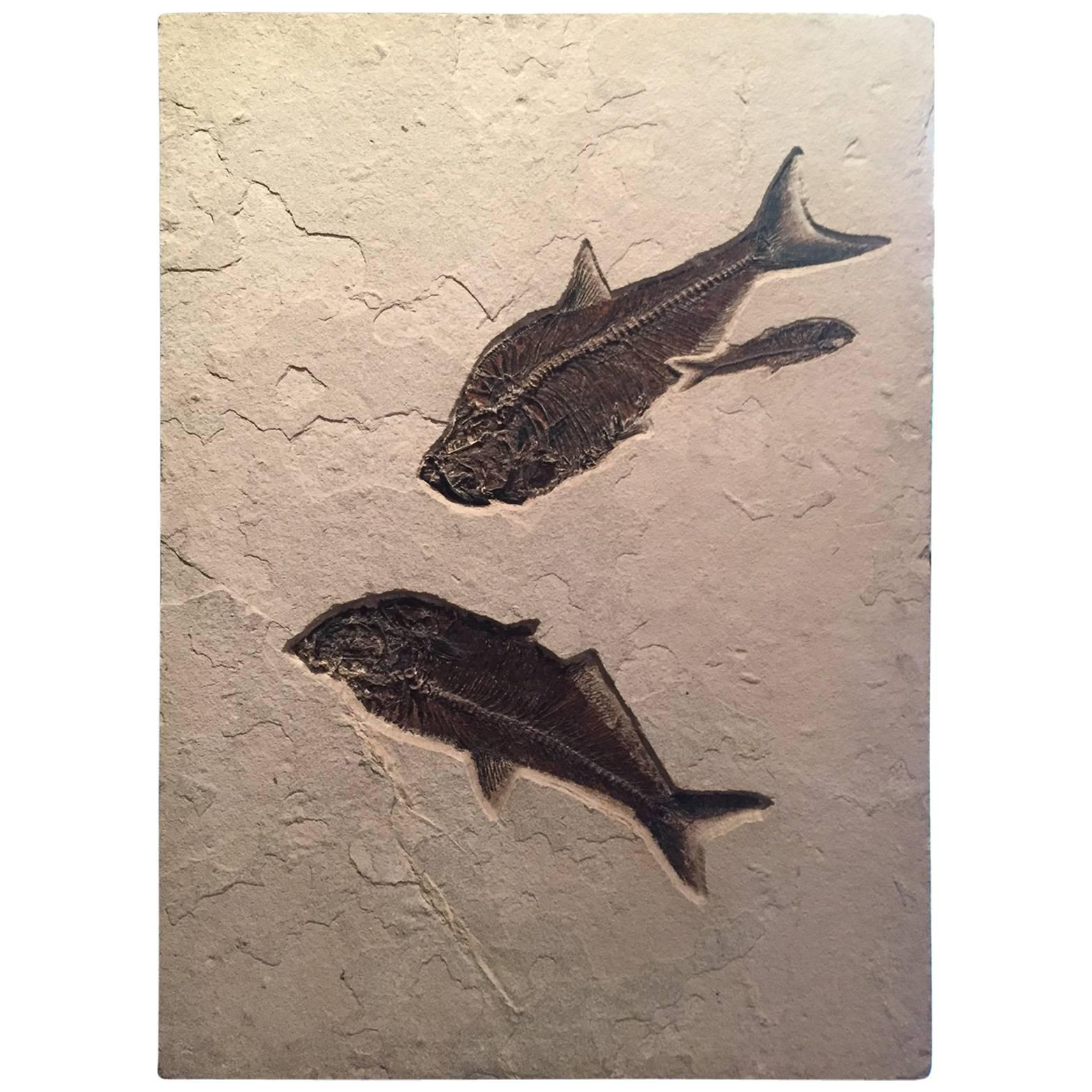 Eocene Era Fossil of a Group of Fish from the Green River Formation, Wyoming