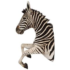 Rare African Taxidermy Large Rearing Burchell Zebra