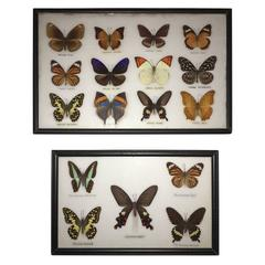 Real Butterfly Specimen Wall Hanging Sculpture, Pair