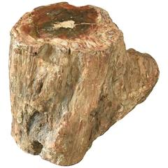 Early Fossilized Petrified Wood Stump from Madagascar, Africa
