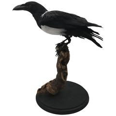 Taxidermy Pied Crow