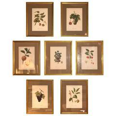 Set of Seven Botanical Prints of Fruit Signed Peter Drafet