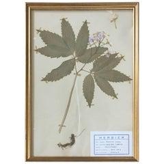 French Herbier Pressed Botanical, 1961