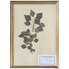 French Herbier Pressed Botanical, 1960
