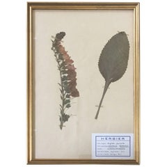 Mid Century French Herbier Pressed Botanical Art, France