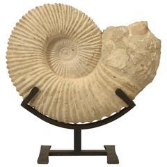 Ammonite Fossil Found in Morocco