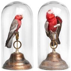 Fine Taxidermy Roseate Cockatoos by Sinke & Van Tongeren