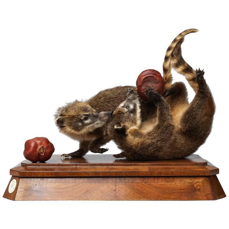 Duo of Fine Taxidermy Ring-Tailed Coatis by Sinke & Van Tongeren
