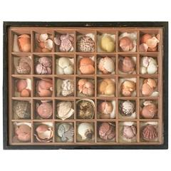 19th Century Nautical Victorian Seashell Collection in Shadowbox