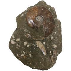 Ammonite Fossil Matrix