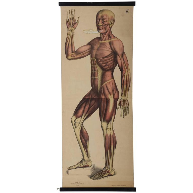 "Vintage School Teaching Chart ""Human Muscles"""