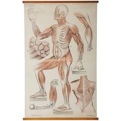 Wall Chart Depicting Human Muscles System
