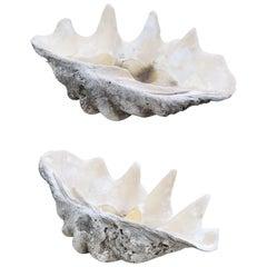 Tridacna Gigas Clam Shell