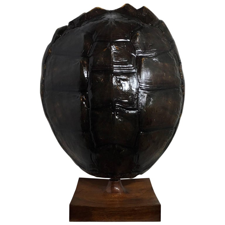 Genuine American Freshwater Turtle Shell